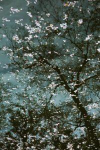 Ode-to-Mortality-Sakura-With-Tree-Reflection-Kiyomizu-dera-Templ